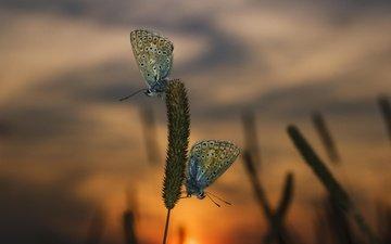 трава, вечер, закат, макро, насекомые, бабочки