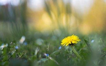 цветы, трава, весна, одуванчик