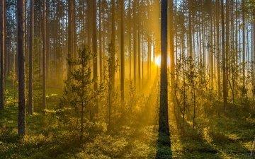 деревья, лес, туман, стволы, рассвет, солнечные лучи, можжевельник