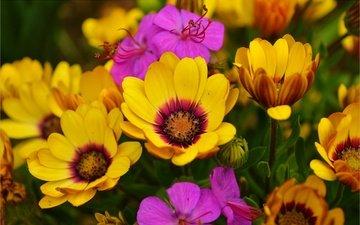 весна, цветочки, остеоспермум
