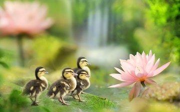 птицы, весна, лотос, пруд, утята, утки, fuyi chen