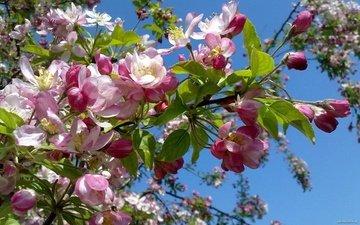 the sky, flowering, spring, apple