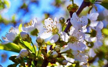ветка, цветение, бутон, черешня, весна