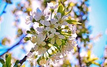 ветка, цветение, лепестки, бутон, черешня, весна