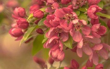 ветка, цветение, макро, весна, яблоня, цветки