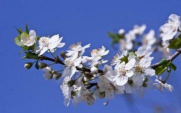 ветка, цветение, макро, весна, цветки, слива