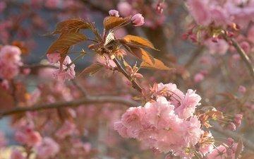 branch, flowering, macro, spring, cherry, sakura, flowers