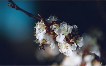 branch, flowering, insect, spring, bee, vladimir kayukov