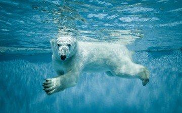 water, paws, look, bear, polar bear, polar, north