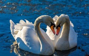 вода, птицы, клюв, любовь, пара, перья, лебеди