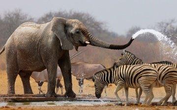 вода, слон, хобот, зебры, антилопы