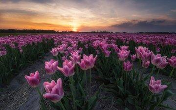 небо, цветы, облака, закат, горизонт, тюльпаны, плантация