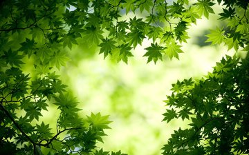 nature, greens, forest, leaves, background, branches, maple