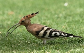 grass, animals, bird, beak, feathers, hoopoe