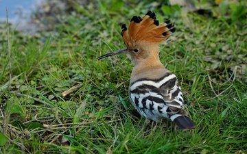 трава, животные, птица, клюв, перья, удод
