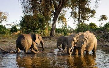 животные, слон, семья, слоны, водопой, полив