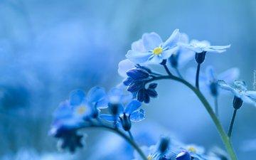цветы, природа, фон, голубые, незабудка