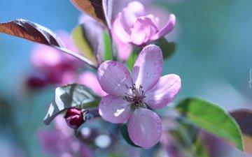 ветка, цветение, весна, розовые цветы, яблоня