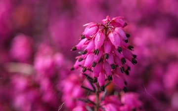 flowers, nature, background, blur, inflorescence, heather