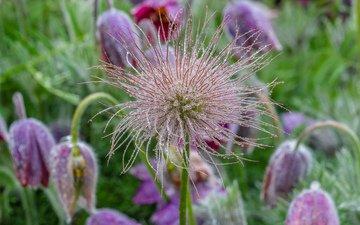 цветы, роса, капли, весна, сон-трава, прострел