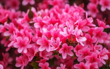 цветы, розовые, азалия, рододендрон