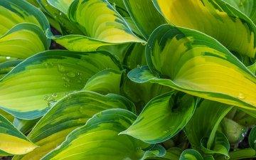 природа, листья, фон, капли, растение, хоста