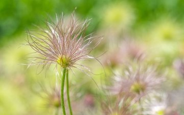 цветы, весна, прострел, pulsatilla, fröställning backsippa