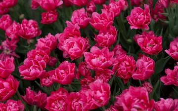 цветы, бутоны, весна, тюльпаны, много