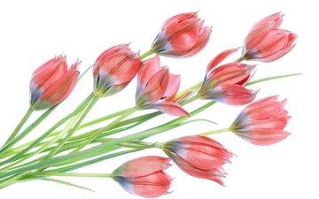 цветы, бутоны, весна, тюльпаны, белый фон