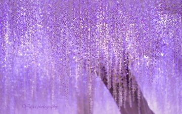 tree, flowering, branches, japan, lilac, wisteria