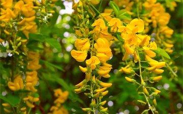 природа, цветение, фон, весна, акация, желтые цветы