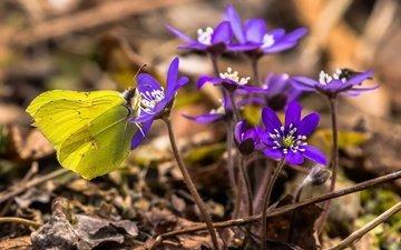 цветы, насекомое, бабочка, весна, печёночница