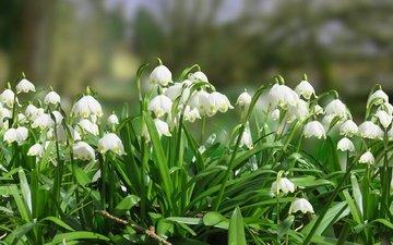 цветы, листья, весна, белоцветник