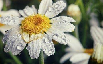 цветы, макро, капли, лепестки, ромашки, белые