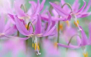 цветы, макро, тычинки, весна, пестики, jacky parker, кандык