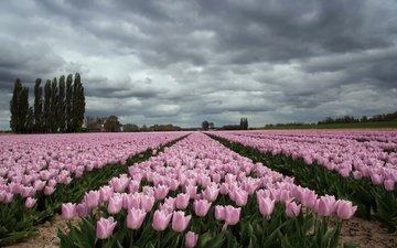 небо, цветы, облака, деревья, поле, тюльпаны