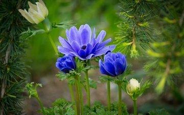 цветы, природа, листья, хвоя, ветки, лето, анемоны