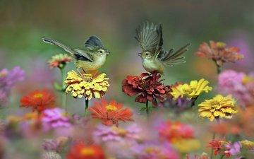 цветы, природа, крылья, птицы, пара, цинния, циннии