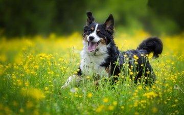 цветы, собака, радость, луг, прогулка, бернский зенненхунд