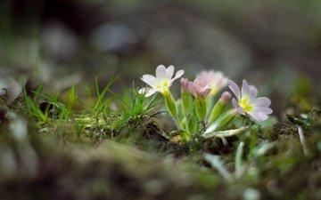 цветы, трава, природа, весна, примула