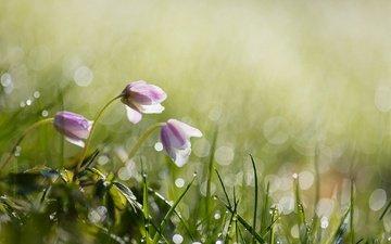цветы, трава, вода, природа, роса, капли, весна, боке, anita toft
