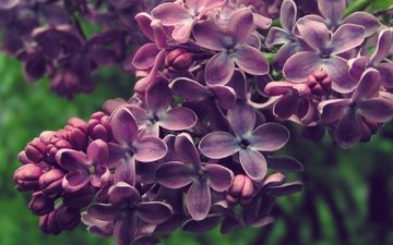 flowers, flowering, spring, inflorescence, lilac