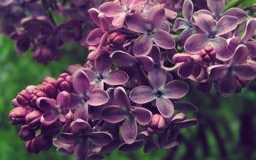 цветы, цветение, весна, соцветия, сирень