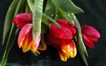цветы, вода, бутоны, капли, черный фон, тюльпаны
