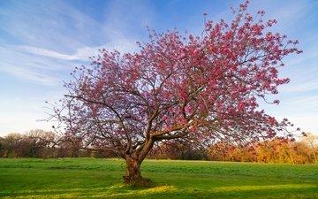 небо, дерево, цветение, поле, весна