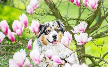 дерево, цветение, ветки, собака, цветки, магнолия, австралийская овчарка, аусси