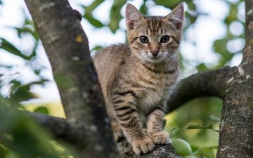 eyes, tree, cat, muzzle, branches, look, kitty