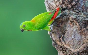 дерево, птица, хвост, попугай, оперение