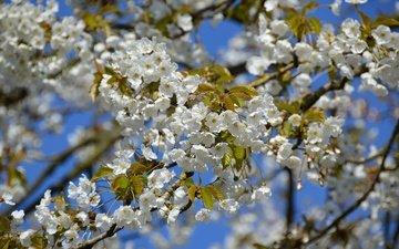 небо, дерево, цветение, ветки, весна, вишня