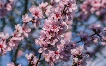 дерево, цветение, ветки, весна